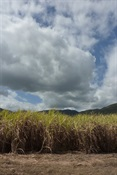 Storm brewing over canefields