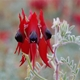 The most common form of Sturt Desert Pea