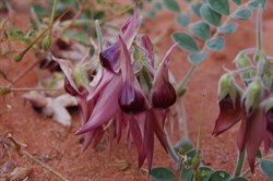 Our first non red Sturt Desert Pea