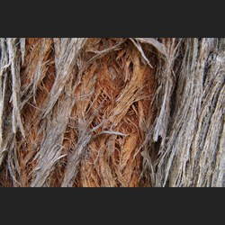 "Close up showing the ""Red Stingybark"""