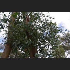 New Blue Gum Regrowth