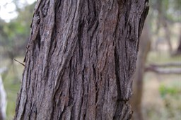 The  Bark of The Red Stringybark