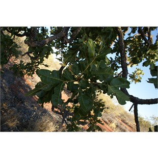 Clustered foliage of the Desert Walnut
