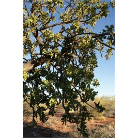 Limbs and foliage of the Desert Walnut