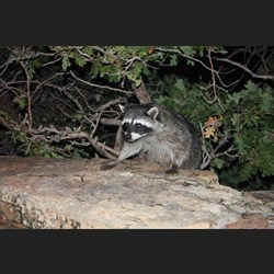 Racoon outside our lodge