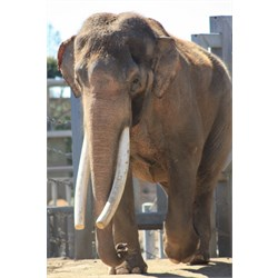 Asian Elephant (both males & females grow tusks)