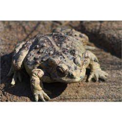 Warty Toad (Amargosa?)