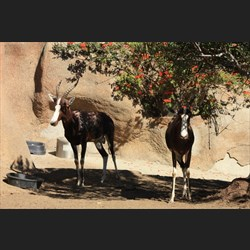 Blesbok (white faced antelope)