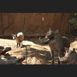 The Warthog and Bat Eared Fox