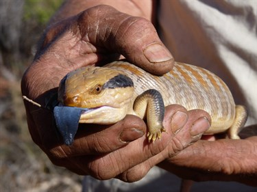 Centralian Blue Tongue Lizard (Skink)
