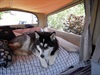 "Alaska the Malamute chooses ""her"" bed for the night"