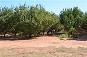 There are hundreds of acres of Almond trees in very neat rows