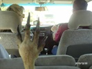 Kangaroo Jack! Hitching a ride!